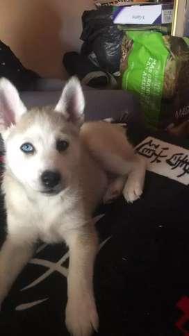 Hermoso cachorro Husky siberiano
