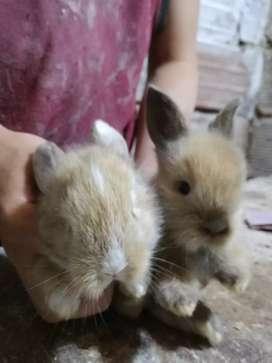 Venta De Conejos Cabeza De León.