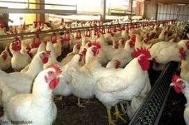 venta de pollo blanco de engorde se vende muerto o vivo