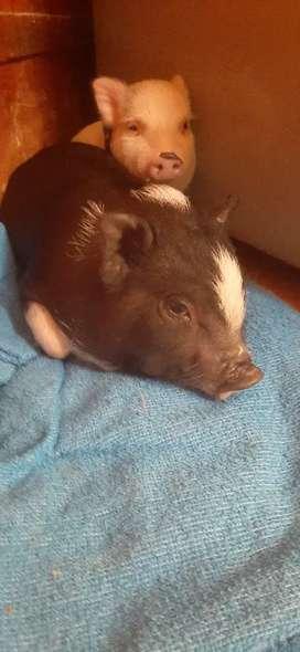 Vendo hermosa Mini pig