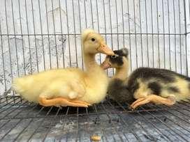 Patos Grulla o Copetones