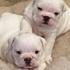 gorditos bulldog ingles hermosos 56 dias bebes amorosos
