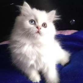 Persa hembra con heterocromia de 3 meses