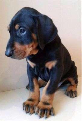 cachorros de gran camada de excelente linea genética doberman puros