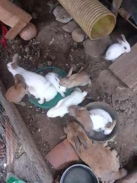 Se Vende El Par De Conejos pequeñitos A 2.5000 Mil