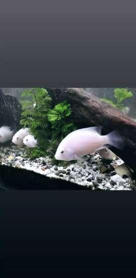 Hermosos convictos albinos