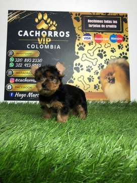Excentricos yorkshire terrier mini