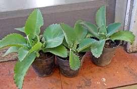 Planta Kalanchoe Laetivirens Maceta 10