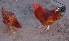 gallo y gallina ($1000) los 2 la gallina es ponedor
