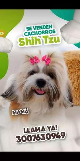 Vendo Shitzu súper mini