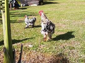 Raza de gallinas conchinchinas