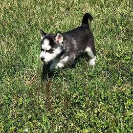 husky siberiano 56 dias vacunas al dia