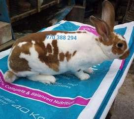 Venta de Conejos Rex Adultos