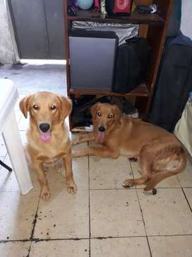 Golden Retriever en Venta