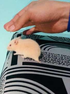 Lindos hamster sirios