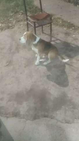 Perros beagle busco novia
