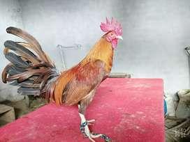 Por motivo de vije se vende las aves