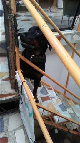 regalo mi perra Rottweiler