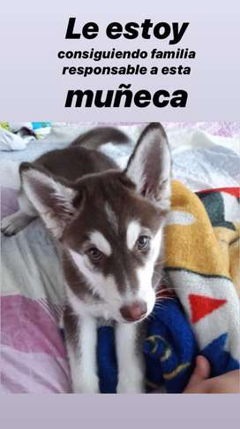 Se vende husky siberiana hembra cachorra