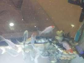 Venta de peces koi desde 10 cm hasta 15 cm