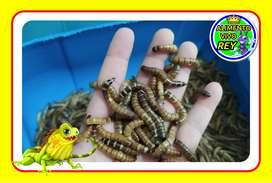 Alimento Vivo Gusano Larva Tenebrio Molitor Zophoba Gusano Rey para Aves Reptiles Peces Roedores Planta Carnivora Otros