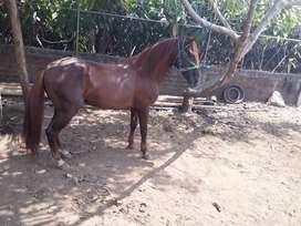 Vendo  caballo paso fino colombiano con registro