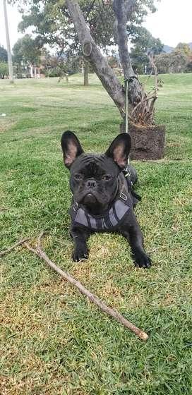 Hermoso Bulldog Francés busca novia