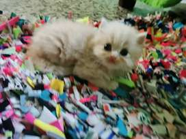 Se venden lindos gatos persa