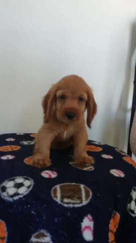 Hermosos cocker spaniel