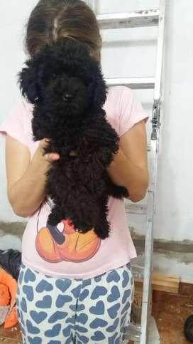 Vendo caniche toy negra asabache
