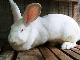 Venta de conejos gigantes flandes