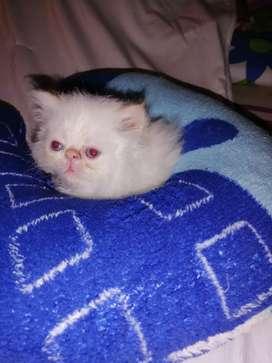 Hermosa persa ojos azules blanca de 50 días para la venta