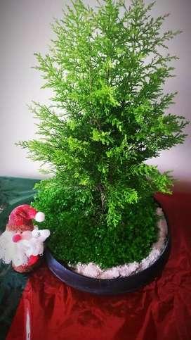 Bonsái, bonsai ciprés limón navidad regalo