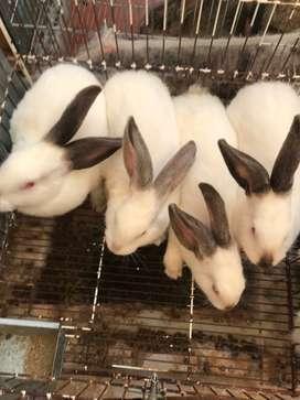 Conejos de todas las razas en Bogota.