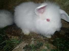 Vendo conejos  al X mayor  y menor hacemos envíos a todo el Ecuador