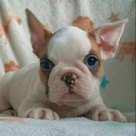 Bulldog Frances Gorditas macostas