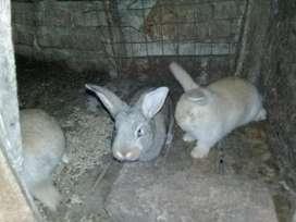 vendo conejos cruza de flandes