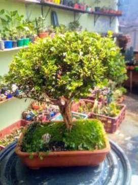 Árbol bonsái buxus