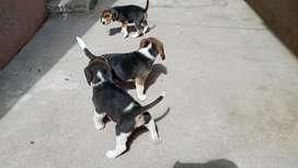 Hermosos cachorritos beagle