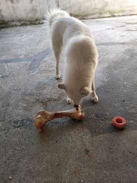 Venta de perra samoyedo con todas la vacunas desparasitada.