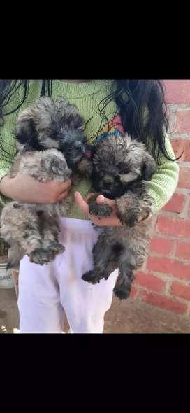 Se vende cachorros cruce Poodle y Schnauzer