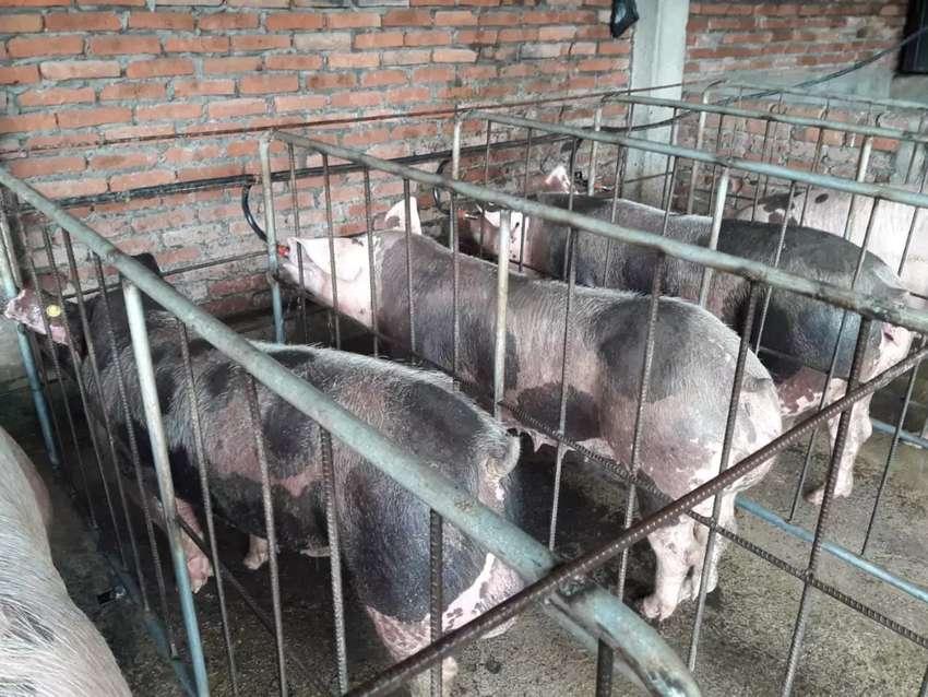 Vendo lote de 13 cerdas reproductoras y 2 cerdos reproductores 0