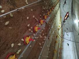 Granjero para criadero de pollos