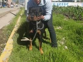 servicio de monta rottweiler Huancayo