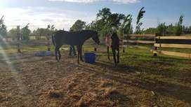 Vendo caballo SPC de 6 años manso