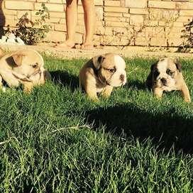 lindo bulldog ingles macho certificado 55 dias