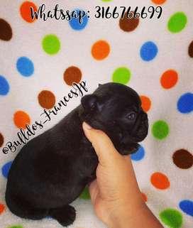 Espectacular Hembra Bulldog Frances
