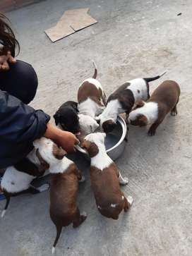 Venta de Cachorros