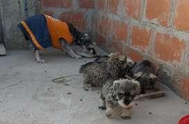 Vendo lindos cachorros schnauzer