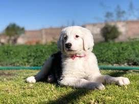 Cachorra pastor ingles excelente genetica y sanidad